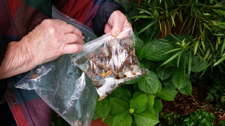 Two baggies stuffed full in one mornings snail hunt!